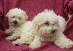 White Female Bichon Frise Puppies