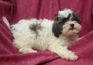 White & Black Female Shih Poo Puppies