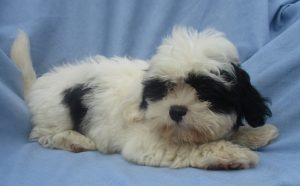 Male Shih poo puppies