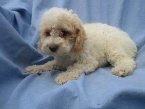 Male Yorkipoo Puppy