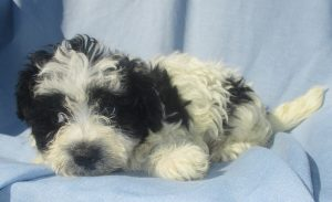 Male Havanese/Bichon Puppy