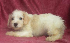 Schnoodle Dog Breeder New Windsor MD