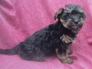 Female Yorkie-Chon Puppy For Sale