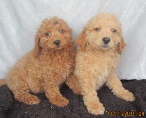 Male Mini-Goldendoodles