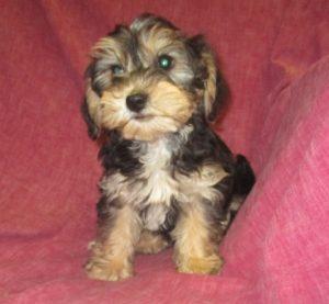 Female Yorkie-Chon Puppy