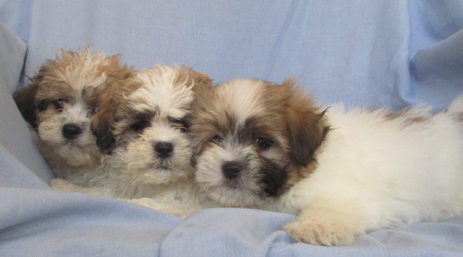 Shih Tzu Havanese Puppy Havashu Puppies Washington Dc Windsor Oak Farm