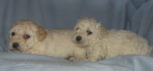 Male Bichon Poo Puppies