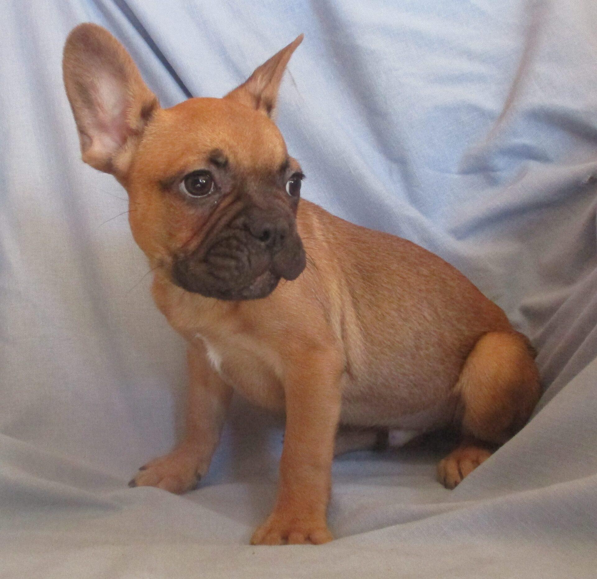 French Bulldog Puppies For Sale Washington Dc Windsor Oak