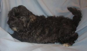 Male Havapoo Puppy For Sale