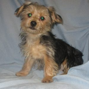 Male Morkie puppy sitting on a blue blanket