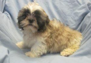 Male Shih-Tzu Puppies