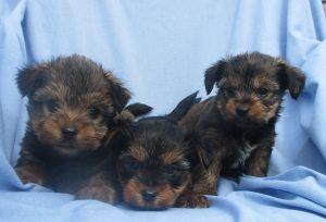 Male Yorkie/Shih Tzu Puppies