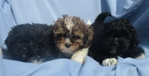 Male Shih poo puppies