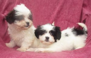 Group of female Shih poo puppies