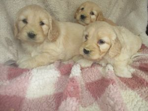Male Mini-Goldendoodles