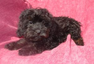 Female Shorkie Puppy For Sale