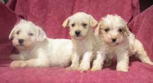 Schnoodle Dog Breeder New Windsor MD