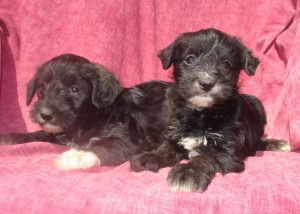 Schnoodle Puppies For Sale New Windsor MD