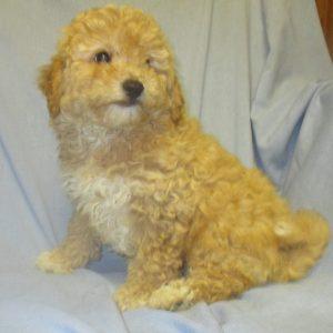 Female Bichon Poo Puppies